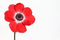 rote Garten-Anemone, red poppy anemone, (Anemone coronaria)