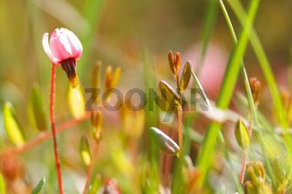 Blüte der Gewoehnlichen Moosbeere - Vaccinium oxycoccos