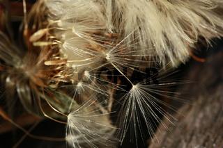 Samenschirm, Löwenzahn