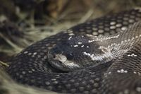 Mexican Black Tailed Rattlesnake