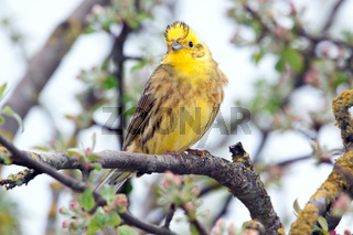 Yellowhammer, Emberiza citrinella, Yellowhammer