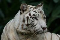Weißer Tiger, Panthera tigris
