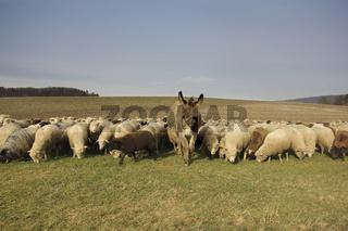Die Chefin der Herde