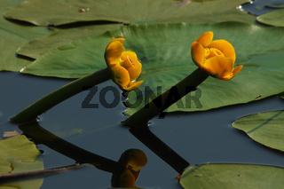 Gelbe Teichrose - Nuphar lutea