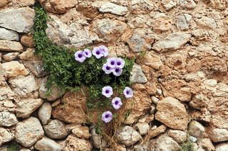 Mauerbluemchen
