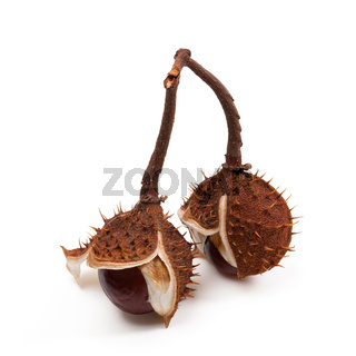 Two horse chestnuts inside dry peel on branch