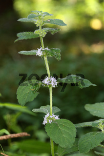 Mentha arvensis, Ackerminze, Field Mint