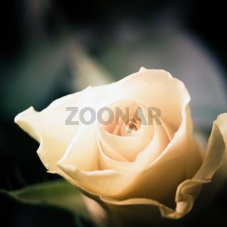 strahlend schöne rosenblüte