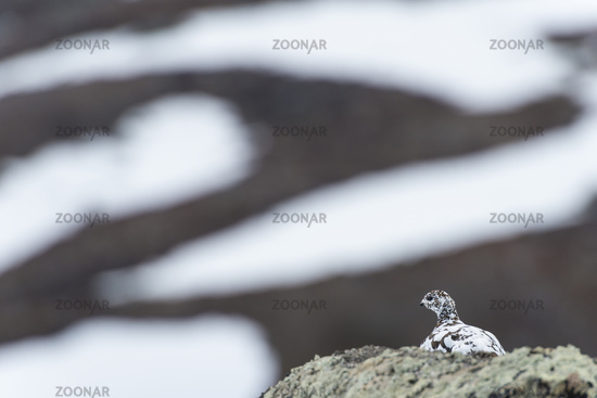 Alpenschneehuhn, Lagopus muta (englisch: Rock Ptarmigan), Weibchen, Stora Sjoefallet Nationalpark, Welterbe Laponia, Lappland
