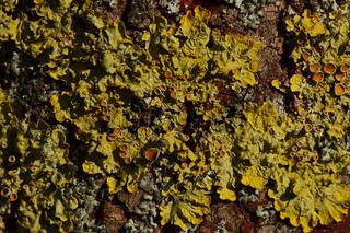 Gewöhnliche Gelbflechte- gelbe Baumflechte - Xanthoria parietina