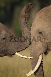 Liebevolle Elefanten, Kenia, Masai Mara