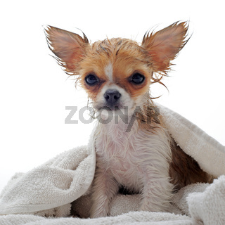 wet puppy chihuahua
