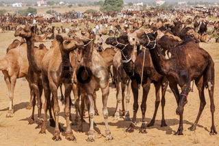 Camels at Pushkar Mela (Pushkar Camel Fair),  India