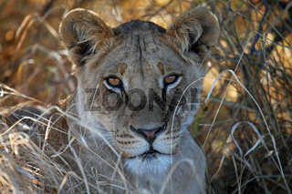 Junger Löwe im hohen Gras im Central Kalahari Game Reserve, Botswana; panthera leo; young Lion in Central Kalahari Game Reserve, Botsuana