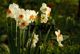 Narzisse - Narcissus