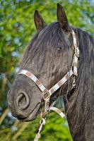Portrait eines schwarzen Pferdekopfes