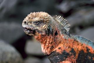 Espanola Marine Iguana in Galapagos