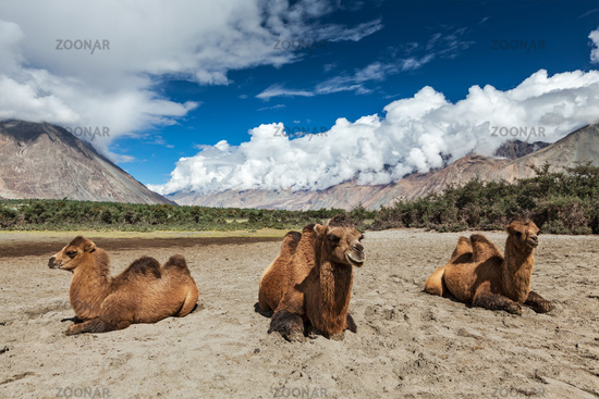 Camel in Nubra vally, Ladakh