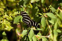 Schmetterling Zebrafalter (Heliconius charithonia)  im Hugh Taylor Birch State Park in Fort Lauderdale