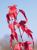 Branch of a maple with red leaves