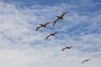 Five pelicans flying in blue cloudy sky background