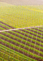Pattern formed by rows of grape vines in vineyard Castell