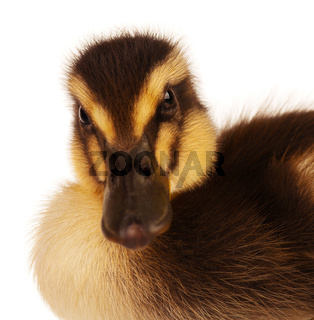 Domestic duckling