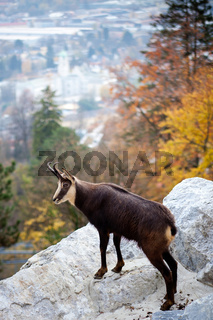 Goat in the Austrian Alps