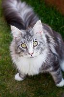 Silberne Maine Coon Katze nach oben schauend