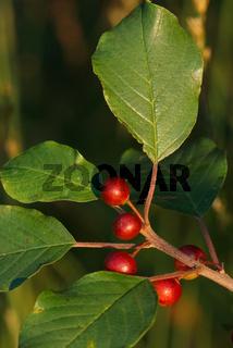 Faulbaumbeeren - Frangula alnus