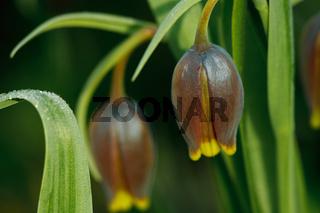 Persische Kaiserkrone - Fritillaria Michailovski