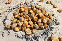 Palmenfrüchte am Strand