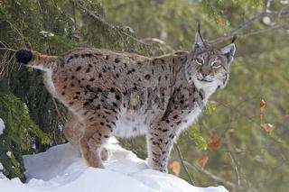 Luchs / Lynx lynx