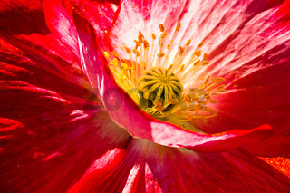 Rote Mohnbluete - Red Poppy blossom