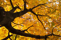 yellow leaves on maple tree in the autumn