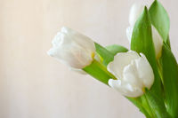 fresh white tulips
