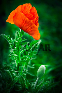 Poppy flower. Big decorative poppy growth in garden