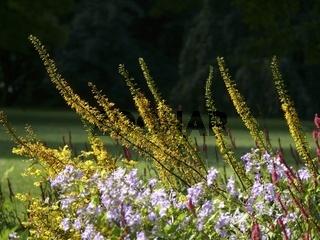 Goldkolben (Ligularia)