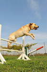 labrador retriever in agility