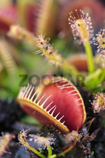 Carnivorous venus fly traps and sundews