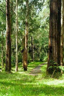 Wald in den Dandenong Ranges National Park, Yarra Valley