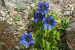 blauer stengelloser Enzian -  Gentiana acaulis