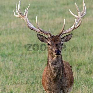 Red Deer Stag (Cervus elephus) UK