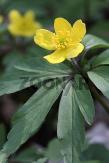 Gelbes Windröschen, Anemone ranunculoides, Yellow anemone