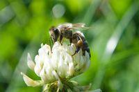 Biene im Weißklee