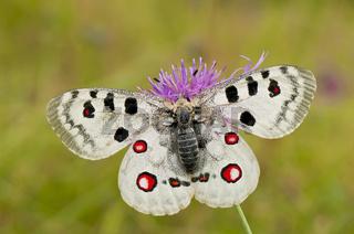 Apollofalter, Parnassius apollo, Apollo butterfly