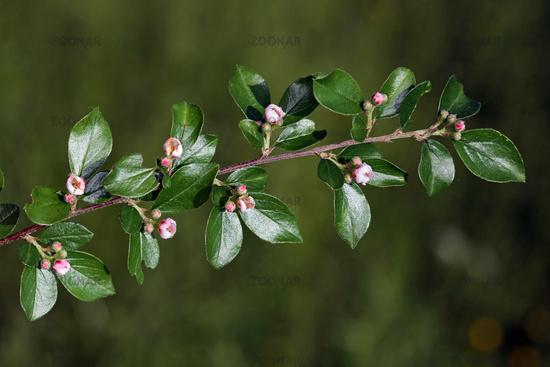 Cotoneaster divaricatus, Sparrige Zwergmispel, spreading cotoneaster