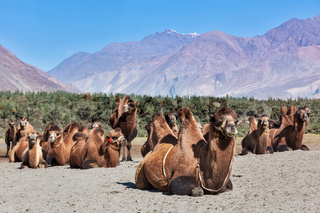Camels in Nubra vally, Ladakh