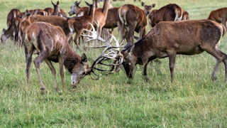 Red Deer Stags Fighting (Cervus elephus) UK