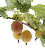 Gooseberries  On A Bush